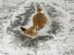 Fox preserved in ice