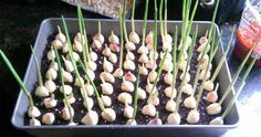 Stop Buying Garlic. Here's How To Grow An Endless Supply Of Garlic Right At Home – Merotoro