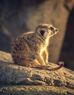 Meerkat at Sunset by Stephen Moehle