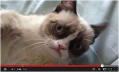 The Original Grumpy Cat :) Watch here: http://awesomeanimals001.blogspot.co.il/2013/04/the-original-grumpy-cat.html