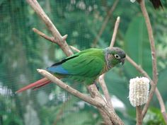 These parakeets are housed together with some other species in the 'Love Aviary' (obviously because of the other dwellers, namely 'love-birds' or Agapornis). Funny Birds, Cute Birds, Pretty Birds, Conure Bird, Parrot Bird, Grandparents Day, Parakeet, Wild Birds, Sloths