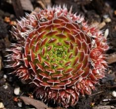"Orostachys spinosa "" Red Form"""