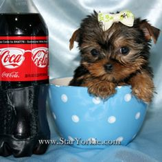 Dont look into this teacup yorkie eyes shes steal your heart. In California    http://dogculture.net/puppies-for-sale/tiny-teacup-yorkie-puppies-available-now-421.htm