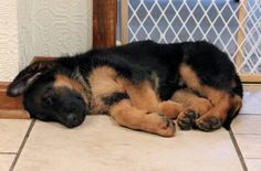 German Shepherd Puppy :) I'm dying because of this cuteness! I can't wait to get one of these!
