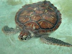 Pretty sea turtle