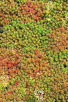 31 Best Sedum Og Gress Images Sedum Sedum Roof Green Roof