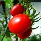 Comment Faire Pousser de Belles Tomates 100% Naturelles.