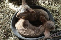 Farm Institute Welcomes Newborn Lambs | The Vineyard Gazette - Martha's Vineyard News