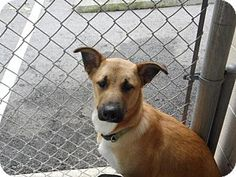Morehead, KY - German Shepherd Dog/Labrador Retriever Mix. Meet Kaiser, a dog for adoption. http://www.adoptapet.com/pet/13556217-morehead-kentucky-german-shepherd-dog-mix