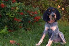 Bluetick Coonhound Puppy So Cute!