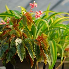 Begonia 'Penny Lahn' - Perennials - Avant Gardens Nursery & Design