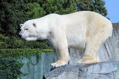 Ice Bear...
