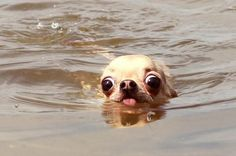 The Swimmer | The 100 Most Important Dog Photos Of All Time...Aww, so cute and what an amazing feat for a Chihuahua!