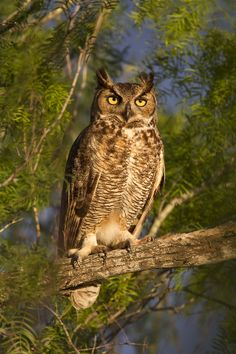 Great horned owl at sunrise by D. Robert Franz