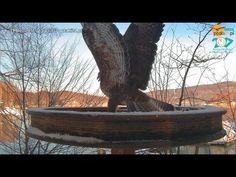 Walki Myszołowów w karmniku dla drapoli nad Soliną