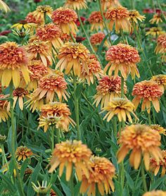 Echinacea, Marmalade PPAF Plant in our clay-heavy soil