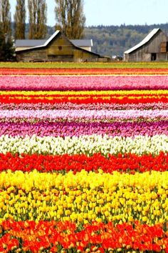 Tulip Field... So pretty.  Looks like Amsterdam when I flew in last spring. I. WANT. TO. GO. BACK.