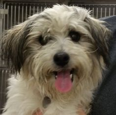 Sir Charles (Schnoodle) - Val & I picked up from SOAPS in Macon on 1/23/2015