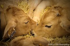 Calves ~ Oh my goodness! I just LOVE their sweet faces!!!
