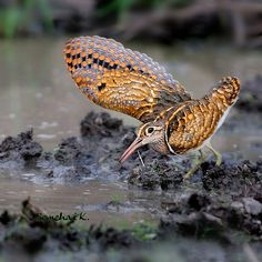 greater painted snipe        (photo by somchaik)