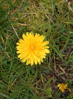 Growing and Using Dandelions (recipe for dandelion liqueur)