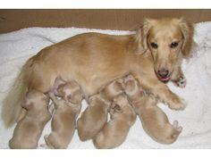 AKC English Cream Dachshund Puppies