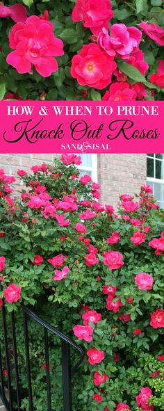Gardening Flowers How and When to Prune Knock Out Roses - Knock Out roses are some of the easiest and most rewarding roses to grown. Learn how and when to prune knock out roses with these easy tips. Garden Shrubs, Lawn And Garden, Garden Landscaping, Landscaping Ideas, Pruning Shrubs, Landscaping Software, Landscaping With Roses, Garden Care, Pruning Knockout Roses
