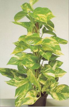 /epipremnum_scindapsus, devils ivy,pothos aureus, all plant parts are poison