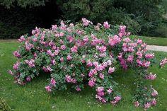 Rosa Lavender Dream - Rose. Looks like an amazing show shrub rose!