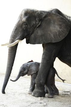 Luna, meaning moon, was born on May 20, 2010.  She is the fifth baby elephant born at Disney's Animal Kingdom.  She was born to mother, Donna and weighed 288 lbs.