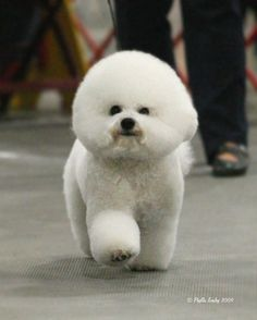 Such Good Dogs: Breed of the Month--Bichon Frise Animals And Pets, Baby Animals, Cute Animals, Poodle, Cute Puppies, Dogs And Puppies, Bichon Dog, Hamsters, Dog Show