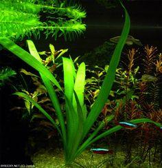 Sagittaria platyphylla    © Jenick Vitex Agnus Castus, Trachelospermum Jasminoides, Herbs, Clay, Exterior, American, Plants, Clays, Herb