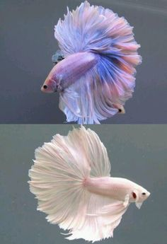 If you get one, please keep it in a tank 5 gallons minimum. Many pet ...