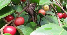 loobika - Google Search Indian Coffee, Indian Garden, Rare Plants, Trees To Plant, House Plants, Seeds, Home And Garden, Vegetables, Fruit