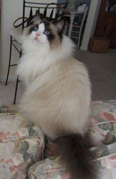 Wally the Ragdoll cat. Ragdoll Cats and Kittens #Ragdoll #Cats and #Kittens