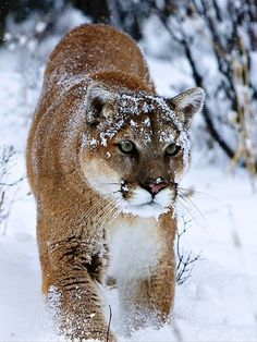 The cougar is territorial and survives at low population densities. Individual territory sizes depend on terrain, vegetation, and abundance of prey. While large, it is not always the apex predator in its range, yielding to the jaguar, gray wolf, American black bear, and grizzly bear. It is reclusive and mostly avoids people. Fatal attacks on humans have been trending upward in recent years as more people enter their territory.