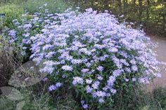 Buy michaelmas daisy - aster Monch Aster × frikartii Mönch - Lavender-blue, daisy flowers: pot: Delivery by Crocus Herbaceous Border, Herbaceous Perennials, Aster, Landscaping Plants, Garden Plants, Michaelmas Daisy, Serenity Garden, Planting Plan, Ground Cover Plants