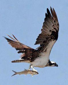 Osprey Bird, Garden Mural, Bird Poster, Sketchbook Inspiration, Tattoo Inspiration, Big Bird, Birds Of Prey, Bird Watching, Bird Feathers