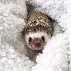 Its been awhile since Maki said hi Hedgehogs are very temperature sensitive so this little one has been spending a lot of time snuggling in warm blankets lately (just like me) . Cute Funny Animals, Cute Baby Animals, Animals And Pets, Cute Creatures, Beautiful Creatures, Animals Beautiful, Hedgehog Pet, Cute Hedgehog, Animal Help