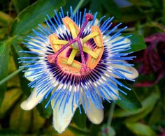 Passion Flower (They're vines. Do they grow individually too?)