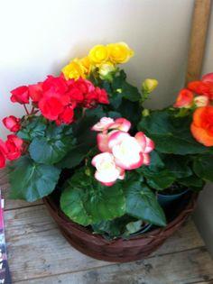 Begonia Sp. (Rieger Begonia)