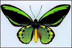 Ornithoptera Priamus Euphorion(7 Gold Spots) -Male -Recto -Australia -(4.25 in wingspan)