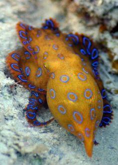 Blue ring Octopus Broome Australia