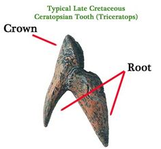 A typical tooth of a Ceratopsian with its two distinct dental roots.