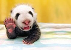 Hello Panda - 20 Cute Animals Waving Hello to You | UnMotivating