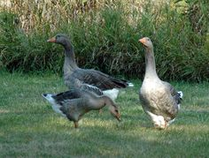 Molly on the right, gosling Ariana in front and Buddy in back. Our Toulouse geese. Photo courtesy of Gale Oaks Poultry Farm.
