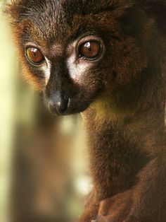Portrait of a Red-bellied lemur