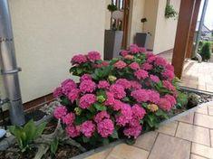 U nás | Modrastrecha.cz Hydrangea, Plants, Hydrangeas, Plant, Hydrangea Macrophylla, Planets