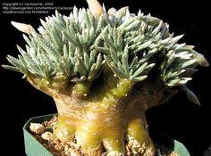Photo of Avonia (Avonia quinaria subsp. alstonii)