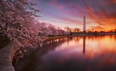 Japan, Cherry blooms at sunset